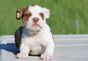 English Bulldog, For sale, Listing ID 1011, Midlothian, Texas, United States, 76065,