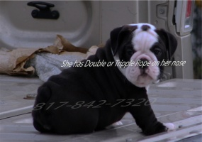 English Bulldog, For sale, Listing ID 1015, Mansfield, Texas, United States, 76063,