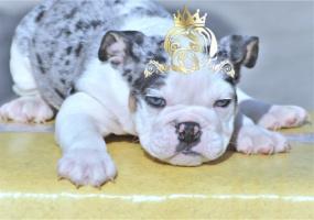 English Bulldog Blue Platinum black Merle English Bulldog
