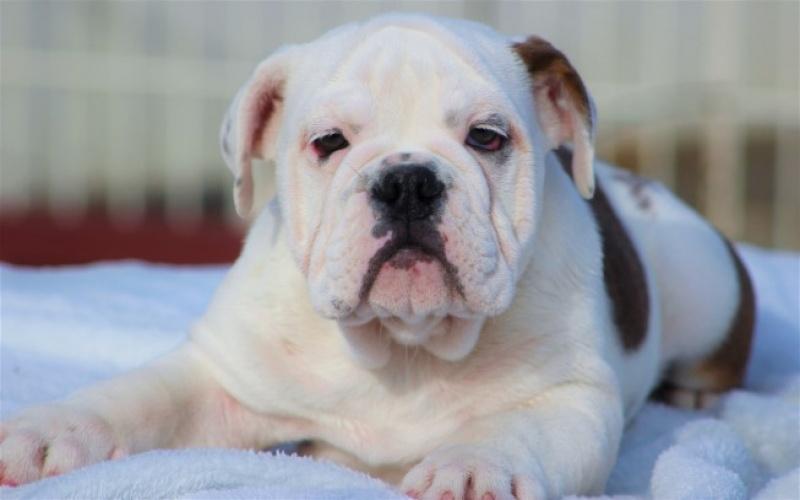 High Quality Exotic Akc English Bulldog