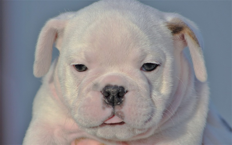 English Bulldog, For sale, Listing ID 1006, Midlothian, Texas, United States, 76065,