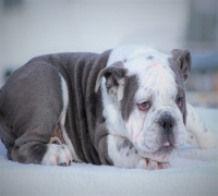 English Bulldog, For sale, 000, First Floor, Listing ID 1007, Dallas / Fort Worth, Texas, United States,