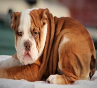 English Bulldog, For sale, Listing ID 1008, Texas, United States,