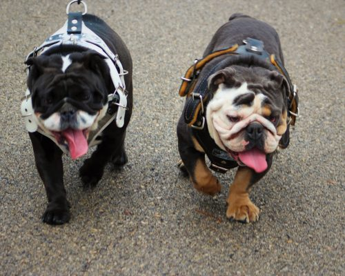 English Bulldog FAQ
